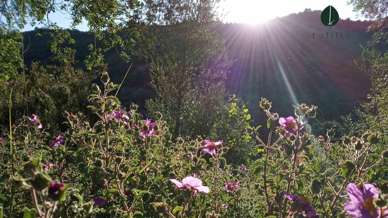 Pink rock rose- Cistus Creticus