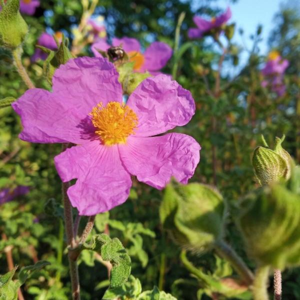 cretan rockrose - pink rockrose - cistus creticus